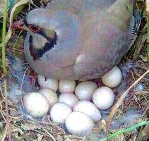 شرایط نگهداری تخم کبک قبل از ورود به دستگاه جوجه کشی