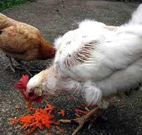 تو لک رفتن مرغ