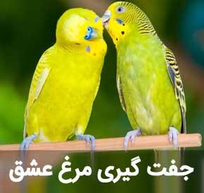 اصول جفت گیری مرغ عشق برای نتیجه گیری بهتر در جوجه کشی