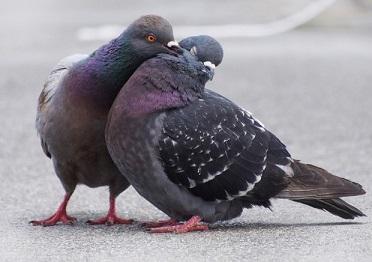 جفت گیری کبوتر
