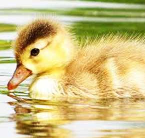 پوشش بدن اردک ها و استفاده از آن در تهیه محصولات مختلف