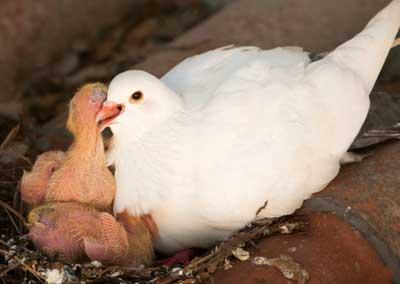 جوجه کبوتر