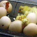 جوجه گشی مرغ