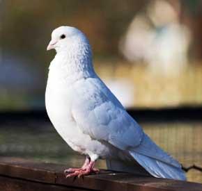 شرایط مهم در جفت گیری و جوجه کشی کبوتر