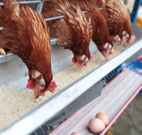 میزان مصرف دان مرغ تخم گذار