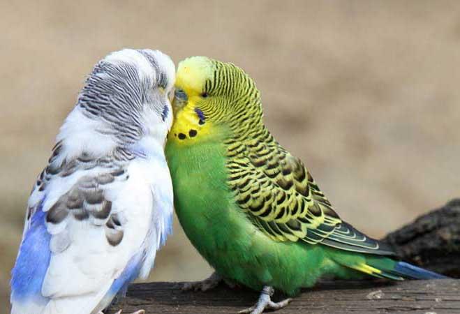 مرغ عشق