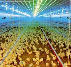 نوردهی سالن پرورش مرغ تخمگذار