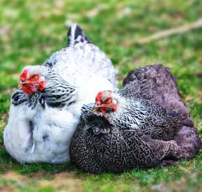 نژادهای مرغ