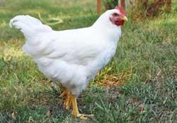 مرغ پلیموت راک