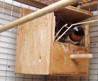 نصب لانه فنچ در قفس