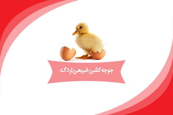 جوجه کشی طبیعی اردک