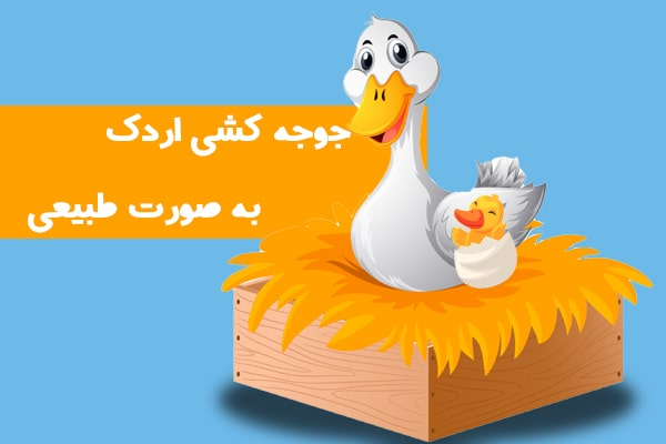 جوجه کشی اردک به صورت طبیعی