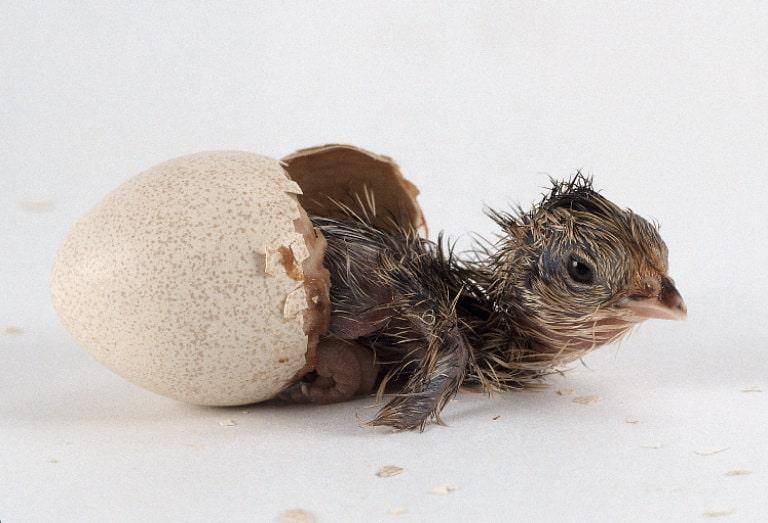 جوجه کشی از تخم کبک