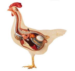 آناتومی مرغ