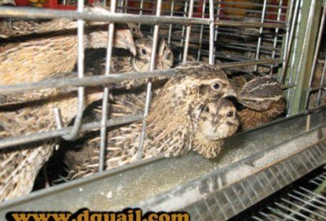 quail cage feed 1 m_4c1d2cc7_l