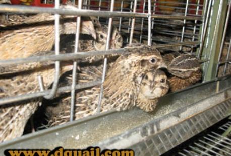 قفس اتوماتیک بلدرچین تخمگذار