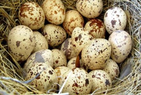 تخم-بلدرچین_۴۷۸ce734_l
