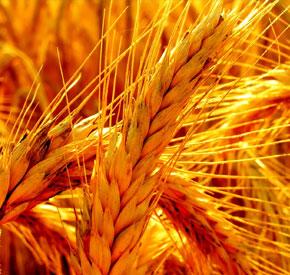 گندم در تغذیه طیور
