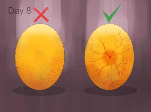 نوربینی تخم مرغ