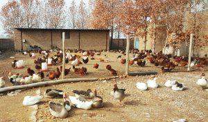 پرورش غاز و مرغ بومی