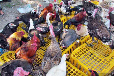 تخم نطفه دار در استان گیلان