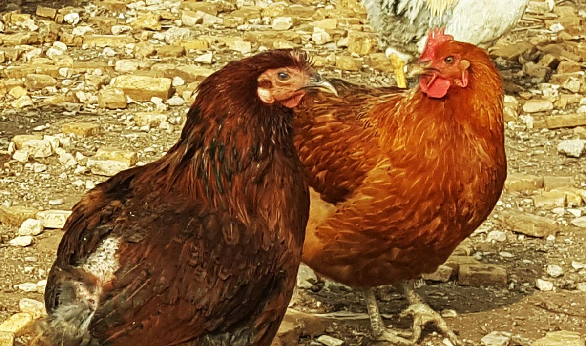 مزرعه-پرورش-غاز-و-مرغ-بومی