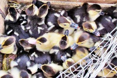 تخم نطفه دار اردک