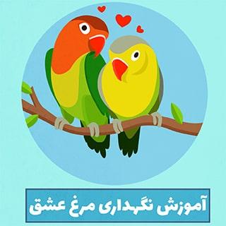 مرغ عشق و اصول نگهداری و پرورش مرغ عشق