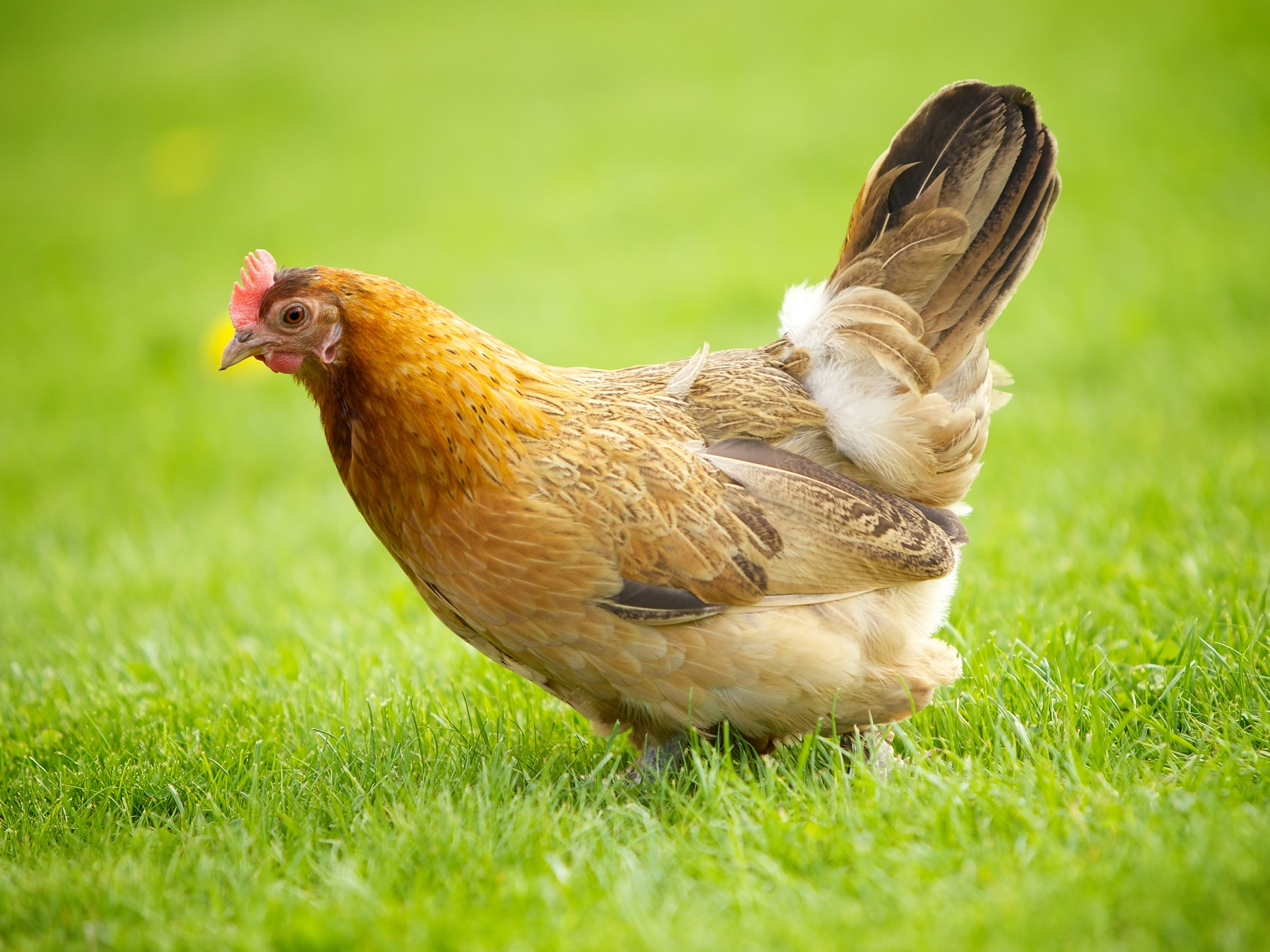 پرنده سالم