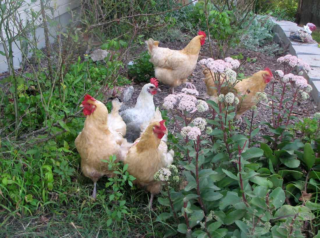 تولید کود با پرورش مرغ بومی