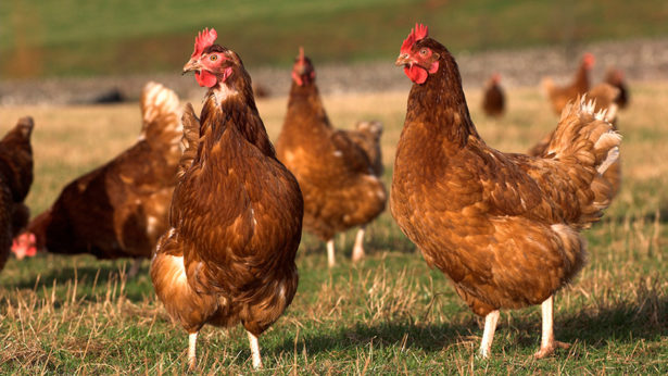 پرورش دهنده مرغ بومی