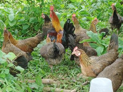 پرورش مرغ بومی در باغچه