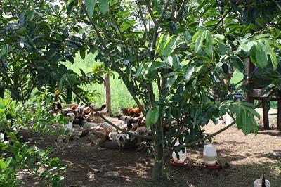 پرورش مرغ بومی در باغ