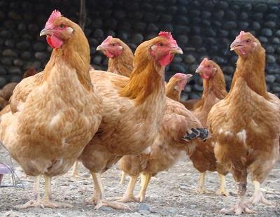 پرورش مرغ بومی در خانه