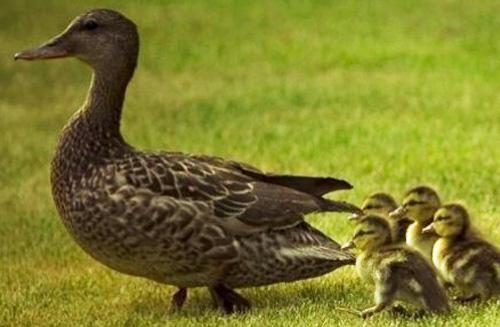 پرورش اردک در اقلیم های گرمسیری