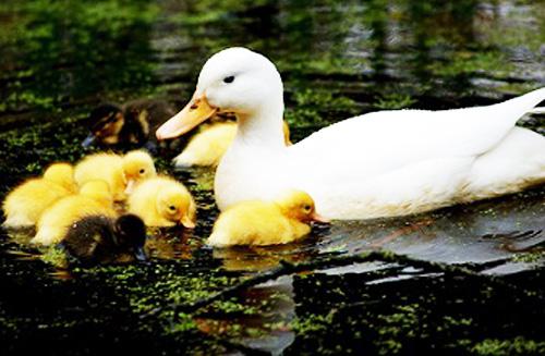 استخر مزرعه پرورش اردک