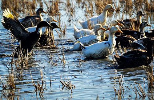 پرورش اردک در شالیزار