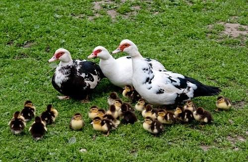پرورش اردک اسرائیلی