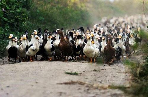 پرورش اردک گوشتی