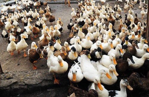 پرورش اردک در شمال