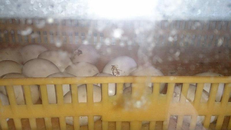 خشک شدن تخم بر اثر رطوبت پایین