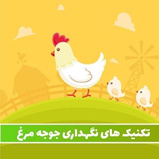 جوجه مرغ – تکنیک های نگهداری قیمت گذاری و فروش جوجه مرغ ها