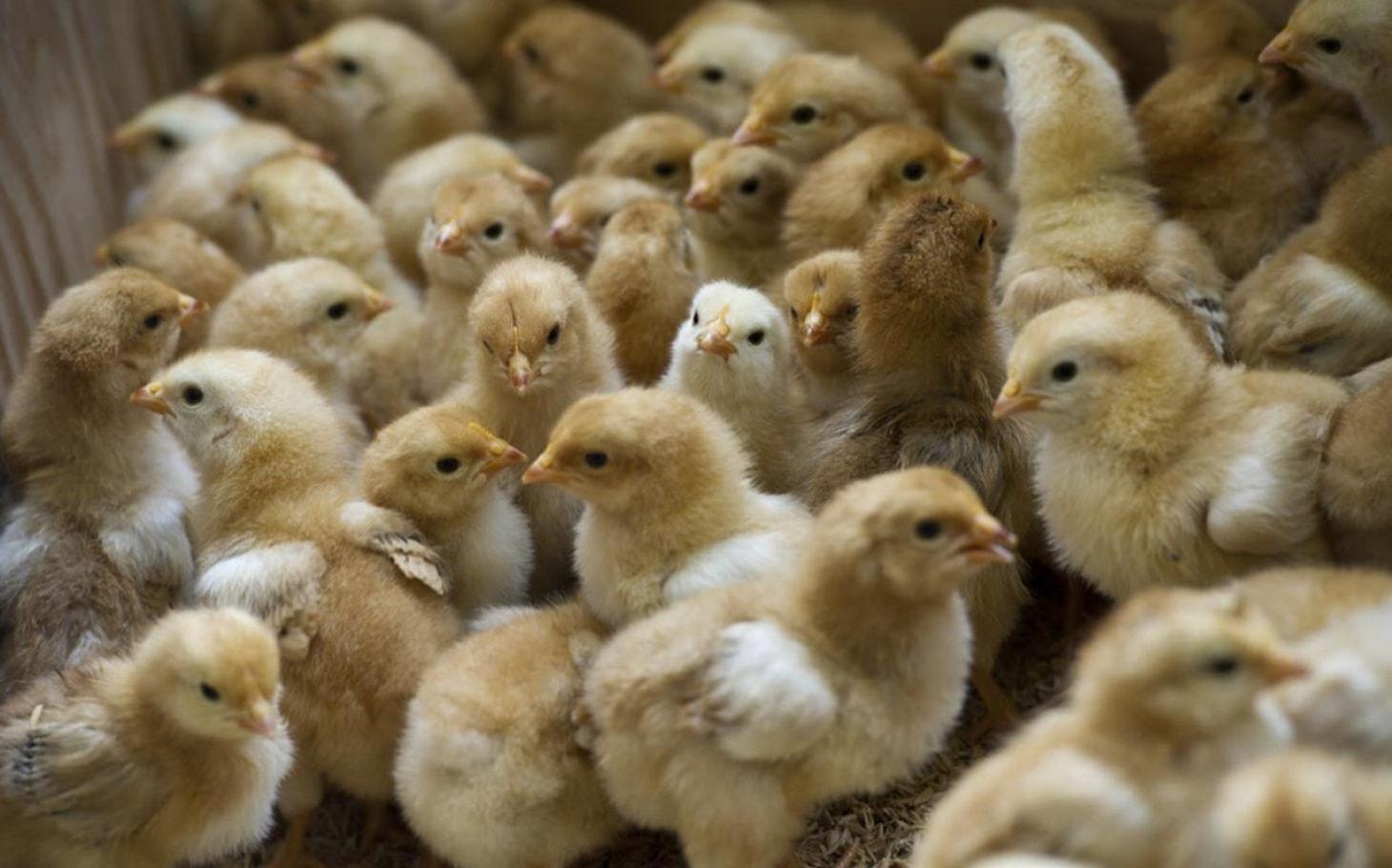 نگهداری جوجه مرغ