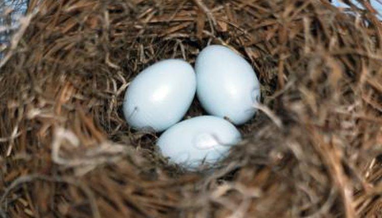 تخم مناسب جوجه کشی قناری