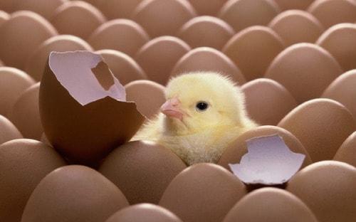 خروج جوجه مرغ از تخم مرغ