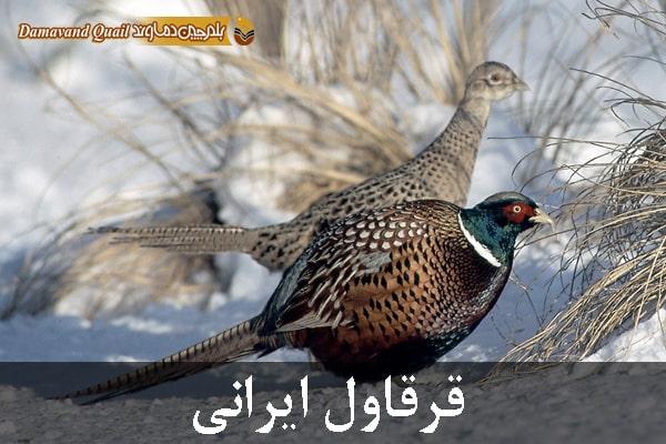 انواع قرقاول ایرانی