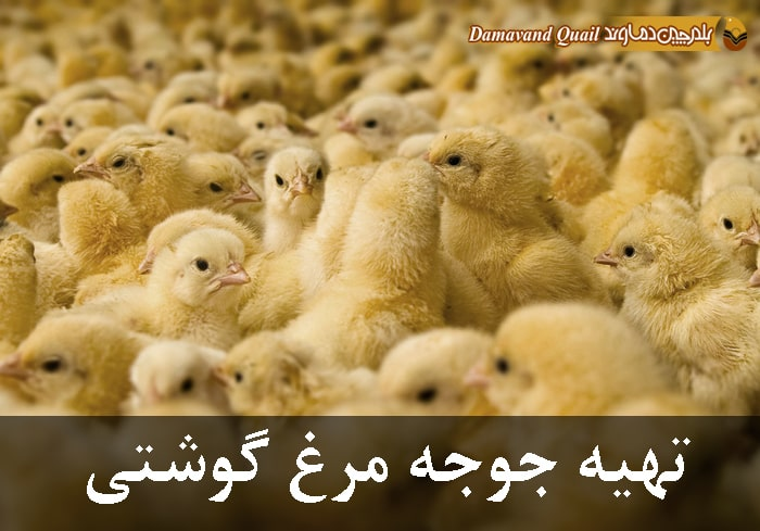 تهیه جوجه مرغ گوشتی