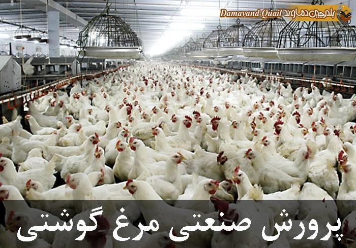 پرورش مرغ گوشتی به روش صنعتی