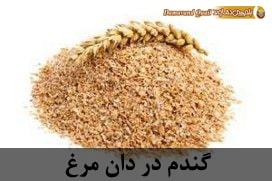 گندم در دان مرغ