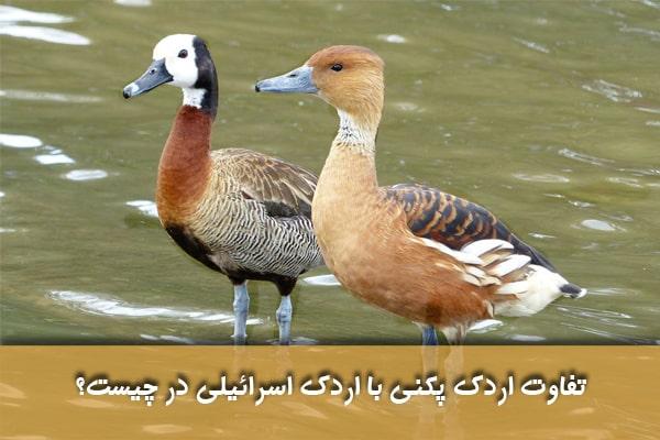 مقایسه گوشت اردک مسکووی با اردک پکنی
